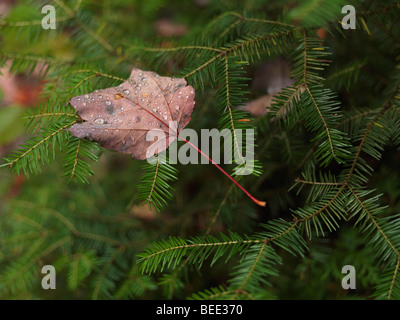 Covered with dew drops fallen maple leaf on Balsam fir. - Stock Photo