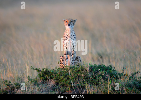 Cheetah (Acinonyx jubatus), on the lookout from a termite hill in the last light of day, Masai Mara Nature Reserve, - Stock Photo