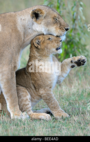 Lions (Panthera leo), female and cub cuddling, Masai Mara Nature Reserve, Kenya, East Africa - Stock Photo
