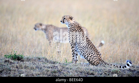 Cheetahs (Acinonyx jubatus), two brothers in the last light of day, Masai Mara Nature Reserve, Kenya, East Africa - Stock Photo