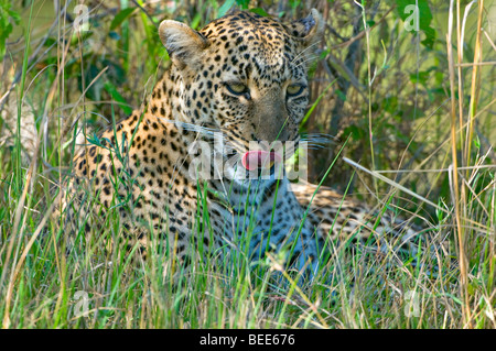 Leopard (Panthera pardus), resting in the grass, Masai Mara Nature Reserve, Kenya, East Africa - Stock Photo