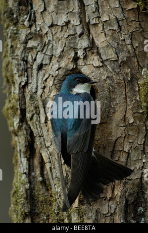 Tree swallow (Tachycineta bicolor), adult at nesting cavity - Stock Photo