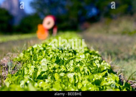 Organic lettuce crop - Certified Organic Producer - Stock Photo