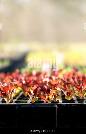Red drumhead cabbage seedlings - Certified Organic Producer - Stock Photo