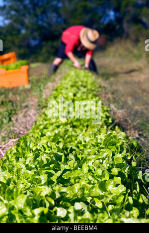 Harvesting lettuce - Certified Organic Producer - Stock Photo