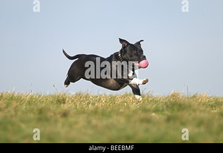 STAFFORDSHIRE BULL TERRIER DOG RUNNING ON GRASS WITH BALL IN ITS MOUTH - Stock Photo