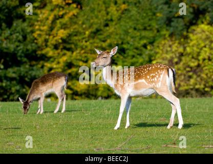 Fallow Deers (Dama dama), two young animals - Stock Photo