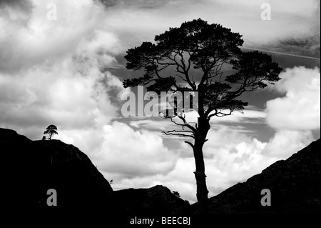 A Scots Pine tree silhouette against a cloudy sky. Highlands, Scotland. Black and White - Stock Photo