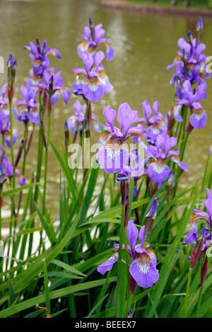 Iris sibirica 'Heavenly Blue' - Stock Photo