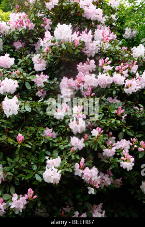Rhododendron 'Mrs Charles E. Pearson' AGM - Stock Photo