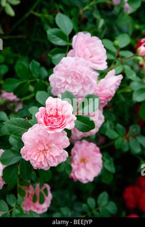 Rosa 'Rural England' Rambler rose - Stock Photo