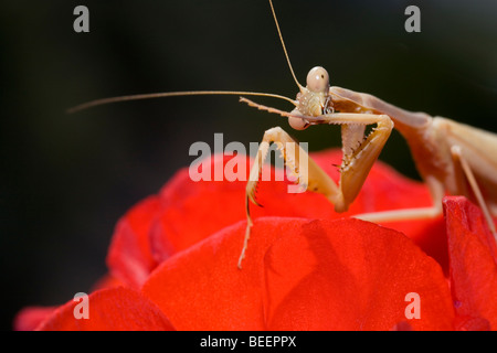 Praying Mantis preening its talons - Stock Photo