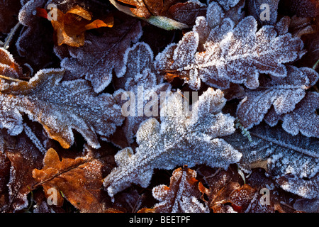 Oak leaves covered in frost - Stock Photo
