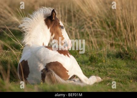 Blue-eyed foal sunbathing - Stock Photo