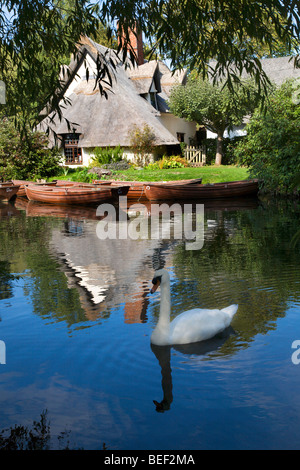 Swan on the River Stour by Bridge Cottage Flatford East Bergholt - Stock Photo