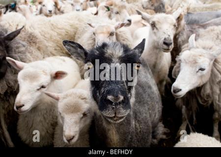 Black sheep with white sheep in pen Fair Isle Shetland Stock Photo