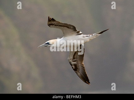 Young Northern gannet in flight on Fair Isle Shetland - Stock Photo