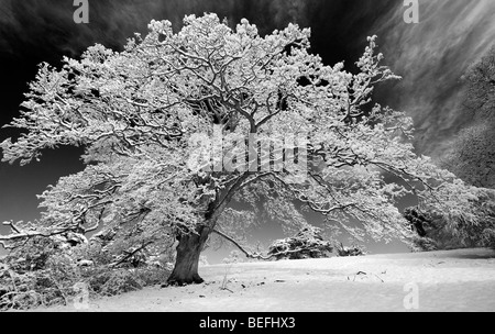 Snow covered oak tree in the english countryside. Black and white with a high contrast red filter applied - Stock Photo