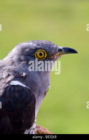 Common cuckoo in hand Fair Isle Shetland - Stock Photo
