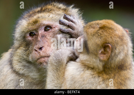 Barbary macaques grooming at Monkey Forest at Trentham, Stoke, UK - Stock Photo