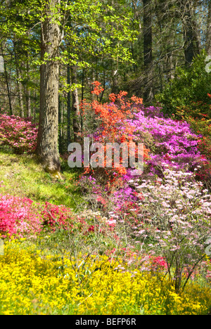 Azaleas on the Biltmore Estate in Asheville, North Carolina, USA - Stock Photo