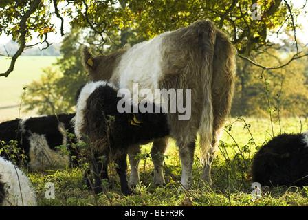 A Belted Galloway cow with calf suckling - Stock Photo