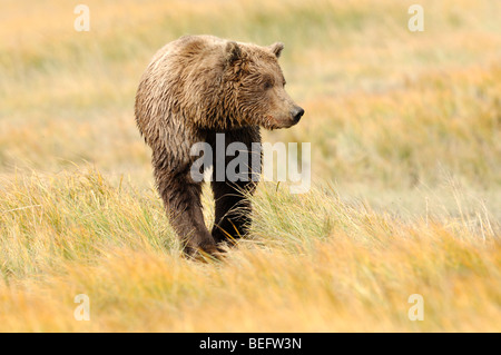 Stock photo of an Alaskan brown bear sitting in a meadow of golden sedges, Lake Clark National Park. - Stock Photo