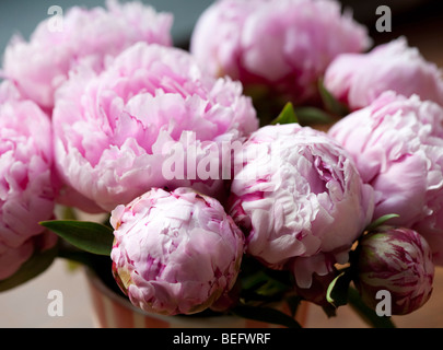 Peonies - Stock Photo