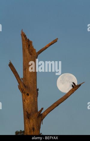 European Starling (Sturnus vulgaris), pair silhouetted against full moon at nest tree, Raleigh, North Carolina, - Stock Photo