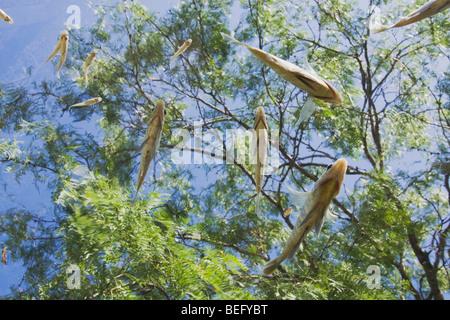 Fish and Mesquite tree, Rio Grande Valley, South Texas, USA - Stock Photo