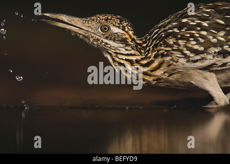 Greater Roadrunner (Geococcyx californianus),adult drinking, Starr County, Rio Grande Valley, Texas, USA - Stock Photo