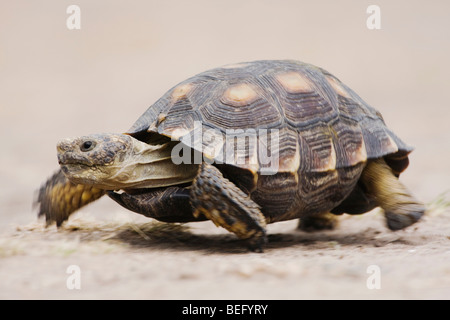 Texas Tortoise (Gopherus berlandieri), adult walking, Rio Grande Valley, Texas, USA - Stock Photo