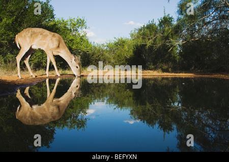 White-tailed Deer (Odocoileus virginianus), buck drinking, Rio Grande Valley, Texas, USA - Stock Photo