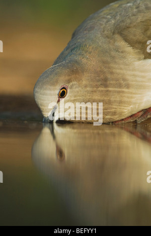 White-tipped Dove (Leptotila verreauxi),adult drinking, Rio Grande Valley, Texas, USA - Stock Photo