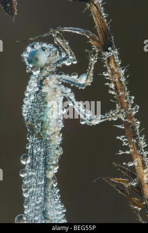 Blue-tipped Dancer (Argia tibialis), Ice-covered female clinging to vegetation, Howell Woods, Four Oaks, North Carolina, - Stock Photo