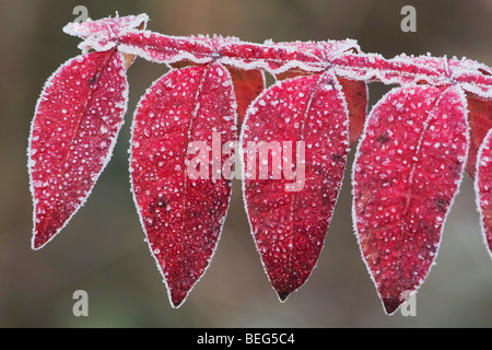 Dwarf Sumac (Rhus copallina), frost covered, Raleigh, North Carolina, USA - Stock Photo