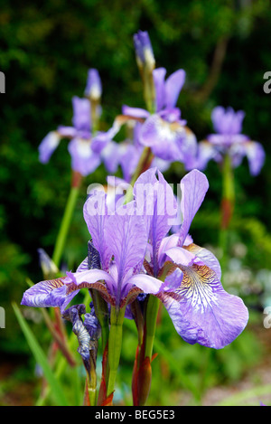Iris sibirica 'Tropic Night' - Stock Photo