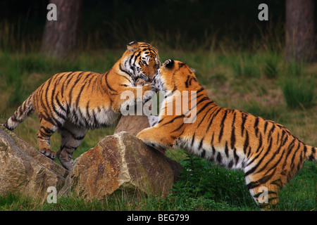 Two playing Siberian Tigers in front of a dark forest - Stock Photo