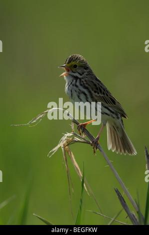 Savannah sparrow (Passerculus sandwichensis), singing - Stock Photo