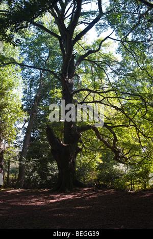 Tree Study no.1, Mortimer, Berkshire - Stock Photo