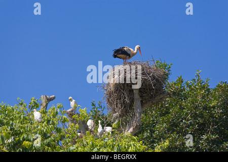 European white stork on nest with Cattle egrets Rabat Morocco - Stock Photo