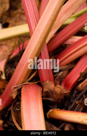 Rhubarb stalks (petioles), this plant is often home or allotment grown for consumption - Stock Photo