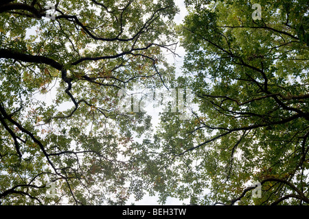 Summer sky filters through the old boughs and green foliage of oak trees in the ancient forest of Sydenham Wood - Stock Photo