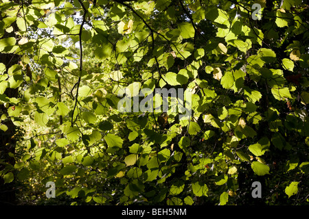 Summer sunlight filters through the old boughs and green foliage of beech trees in the ancient forest of Sydenham - Stock Photo