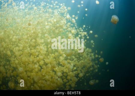 Jellyfish Lake with stingless Jellyfishes, Mastigias papua etpisonii, Micronesia, Palau - Stock Photo