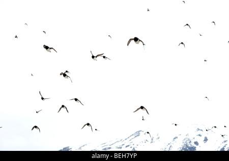 Spitsbergen, Svalbard, little Auk colony in Fuglesangen - Stock Photo