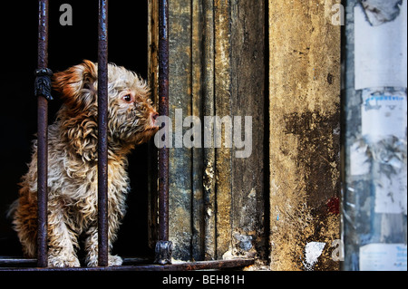 In an Istanbul back street a small dog looks out from the barred glassless window of a derelict house. - Stock Photo