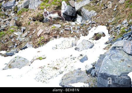Spitsbergen, Svalbard, Hinlopenstreet, artic fox at Alkefjellet - Stock Photo