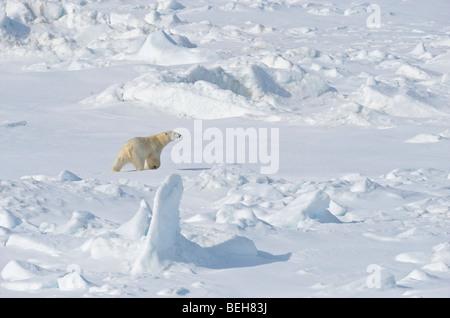 Spitsbergen, Svalbard, polar bear on pack ice close to 1000 islands - Stock Photo