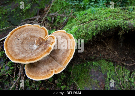 Bracket fungus growing amongst moss on a dead rotting log in the forests of Togakushi, Japan - Stock Photo